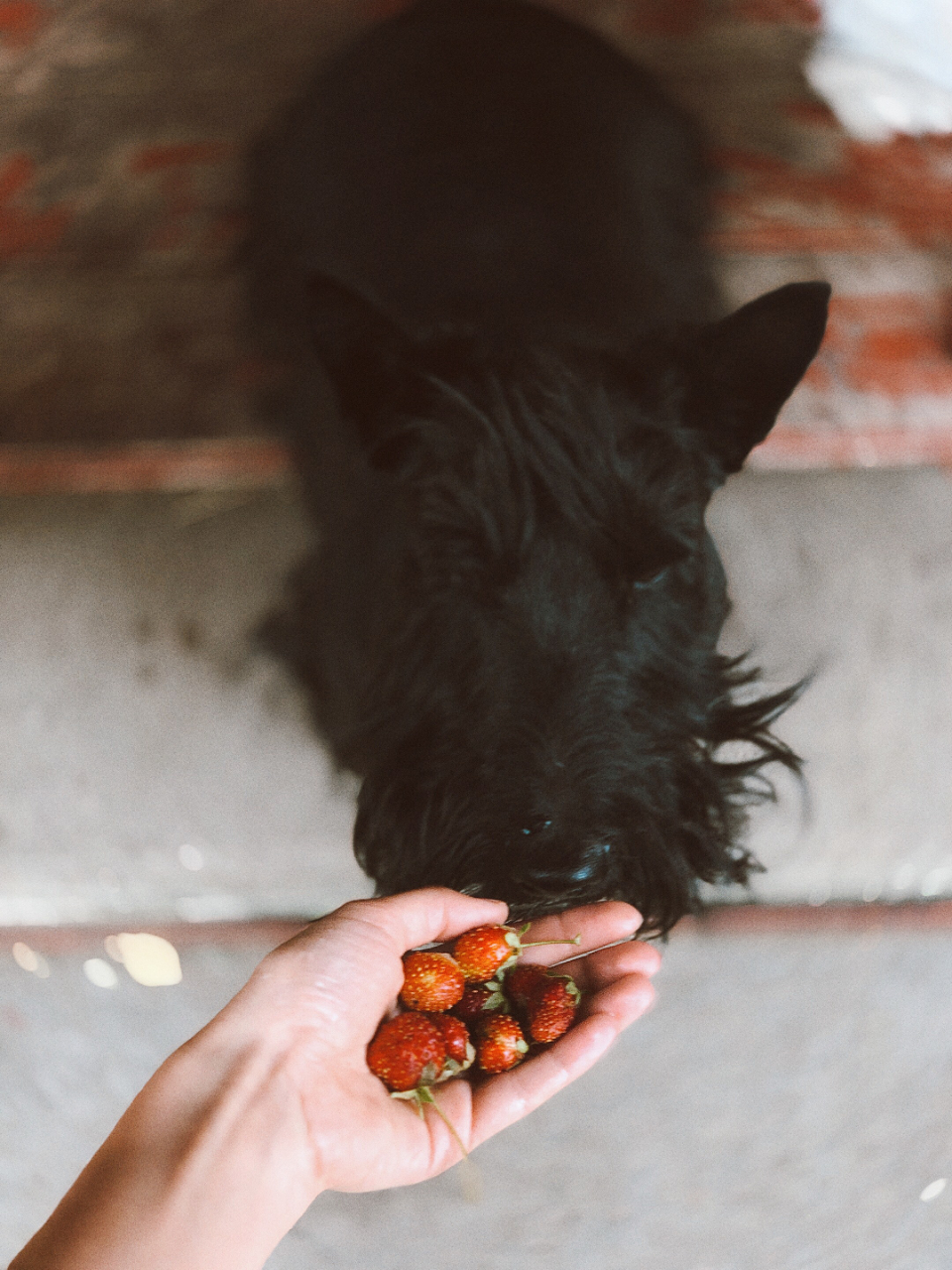 dog smelling fruit food strawberry highland black dog pet animal woman girl hand