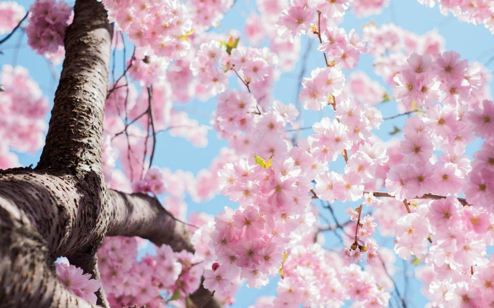 flowers nature pink blossoms spring summer branches outdoors trees