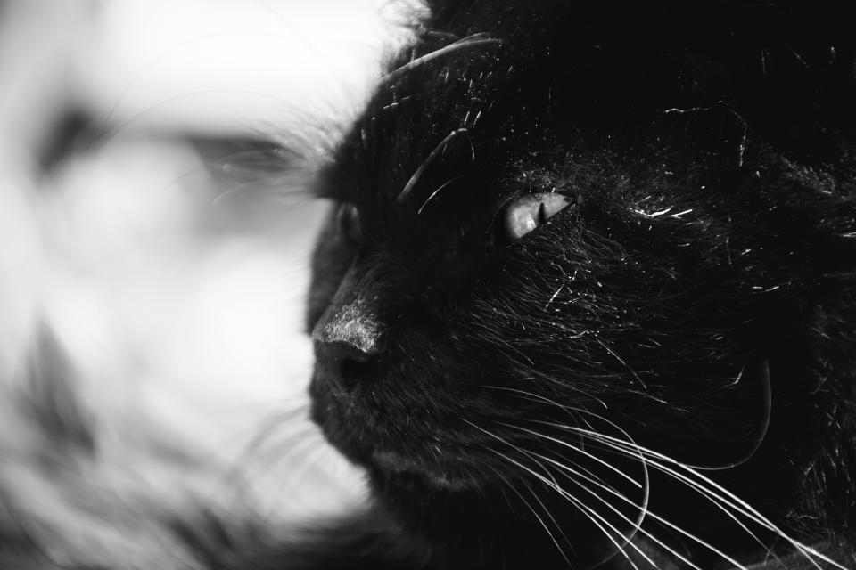 animals feline cats whiskers snout fur fierce eyes curious still bokeh black and white
