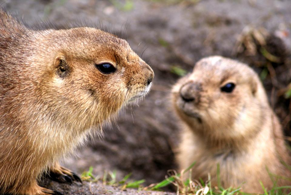 prairie dogs animals