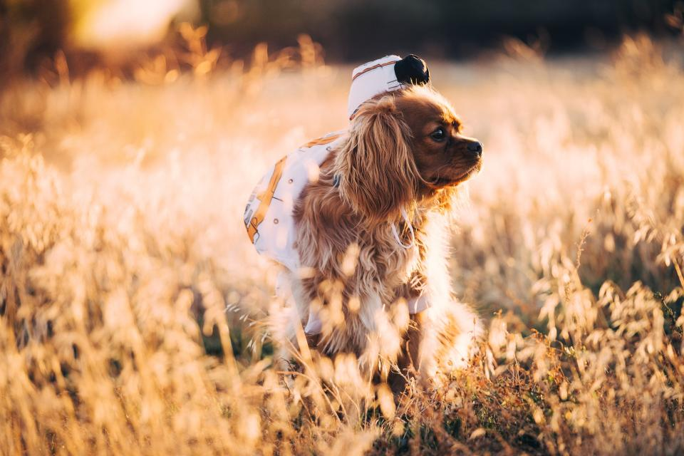 brown hair dog puppy pet animal grass outdoor nature cap hat blur