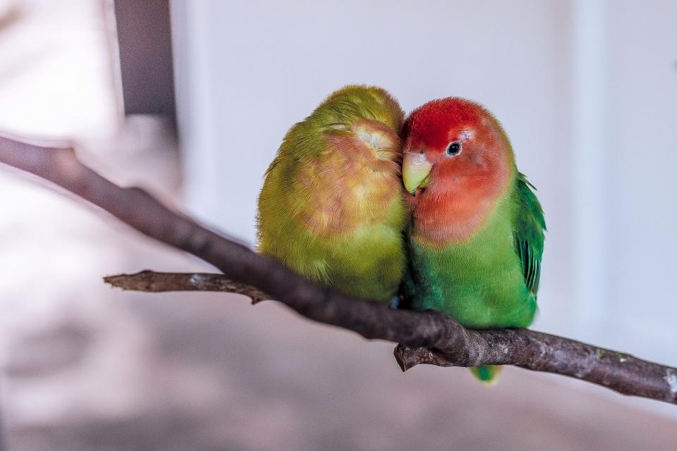 love birds branch bokeh animal tree parrots green nature