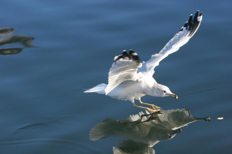 seagull bird wings flying water reflection beak