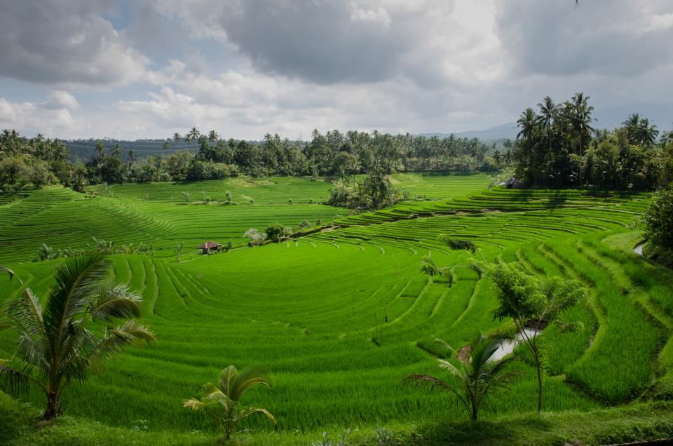 rice paddy field green agriculture bali landscape sky clouds trees