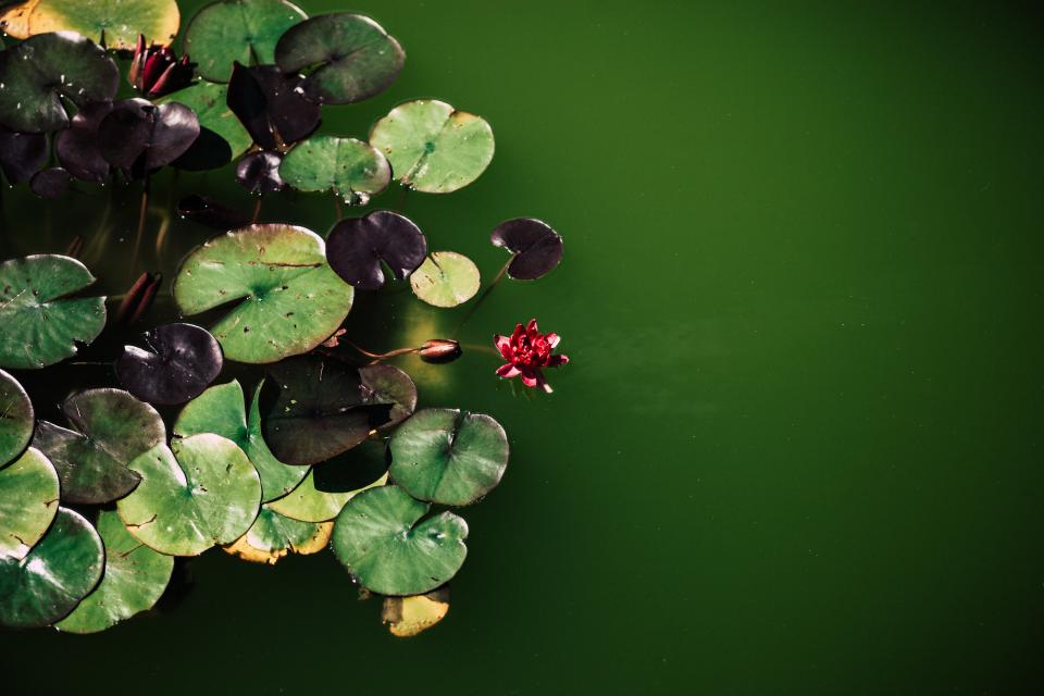 water green leaf plant waterlily flower