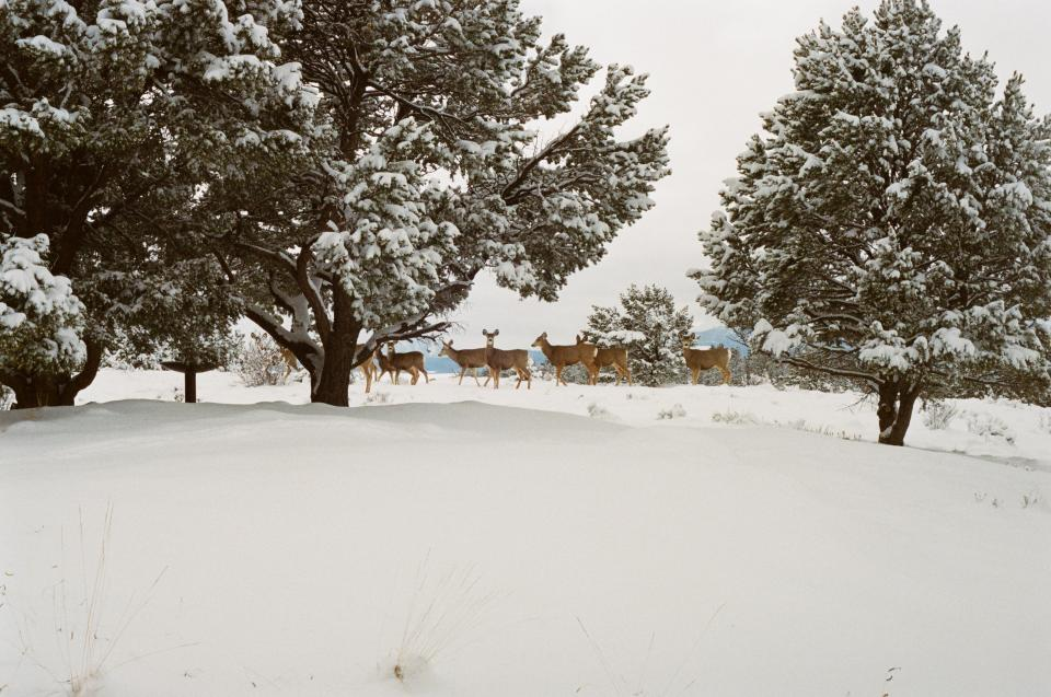 deer animals snow winter cold trees colorado