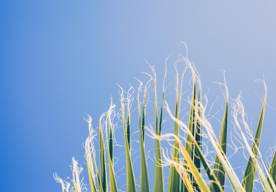 nature harvest crops corn stalks hair strings edges rows height lines patterns textures sky blue green