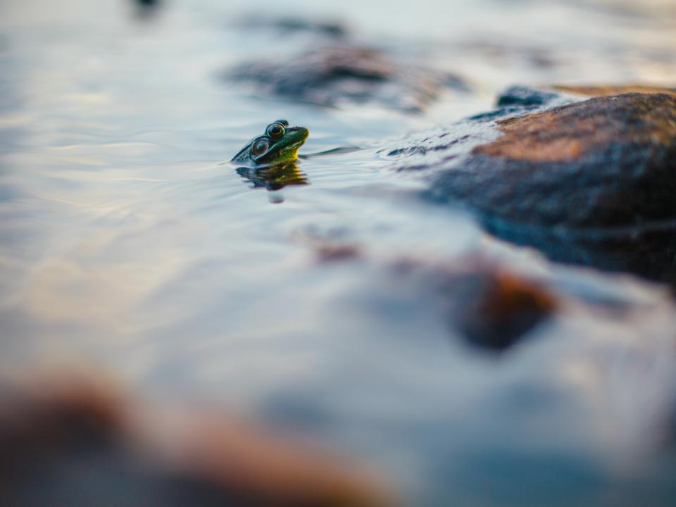 frog reptile water animal outdoor nature blur rock