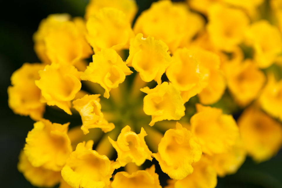 small flowers yellow macro pretty top garden fresh plants botany bloom blossom summer soft focus