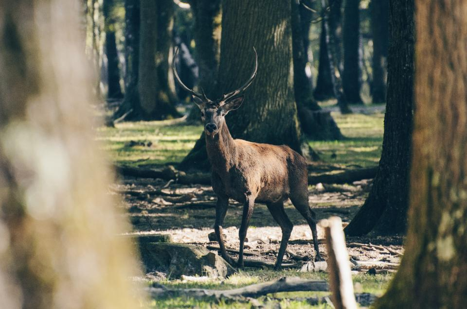 deer animal wildlife trees plant forest sunny day wood