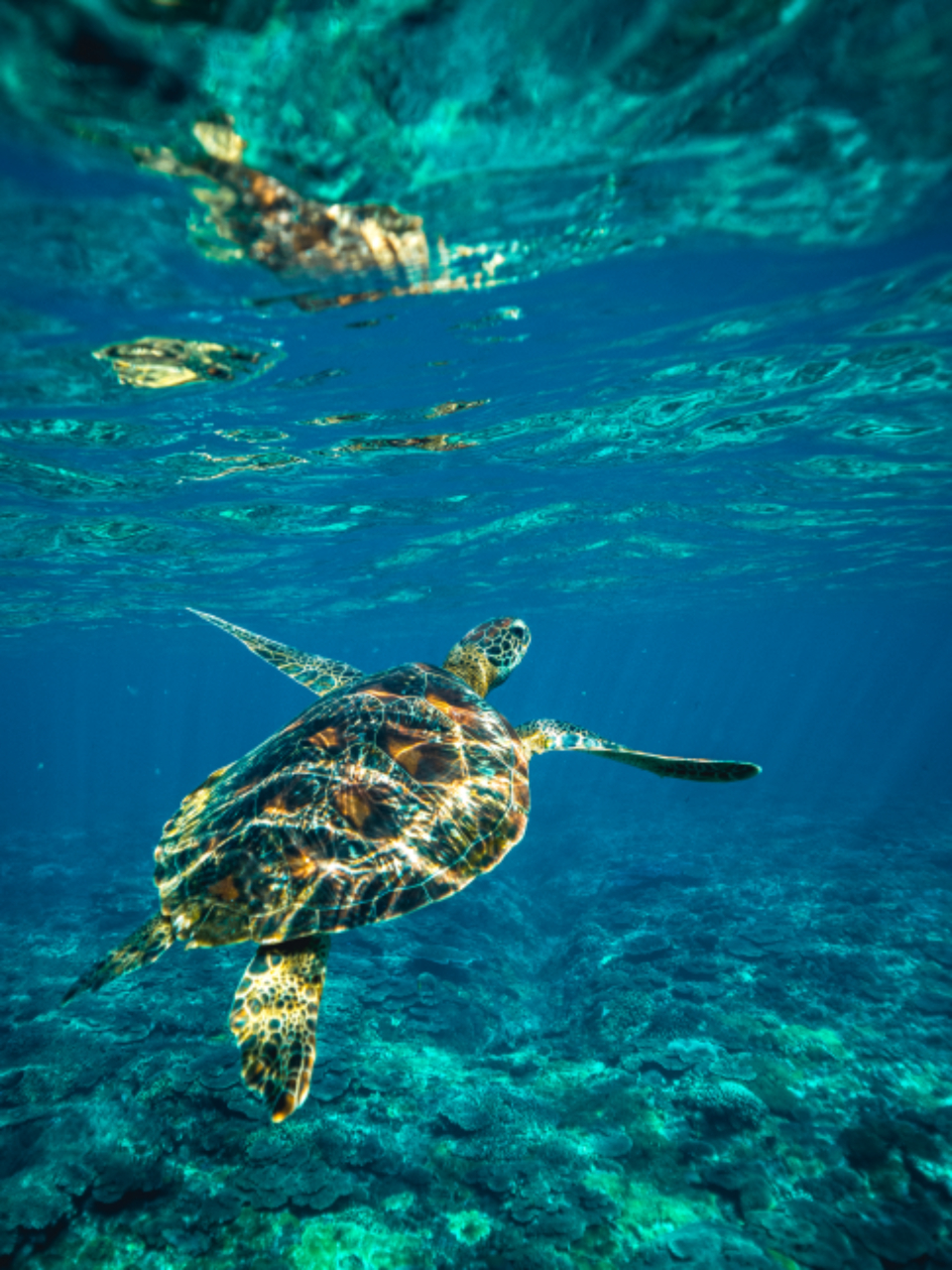 diving snorkel ocean fish sea water deep water underwater turtle sea turtle green blue water