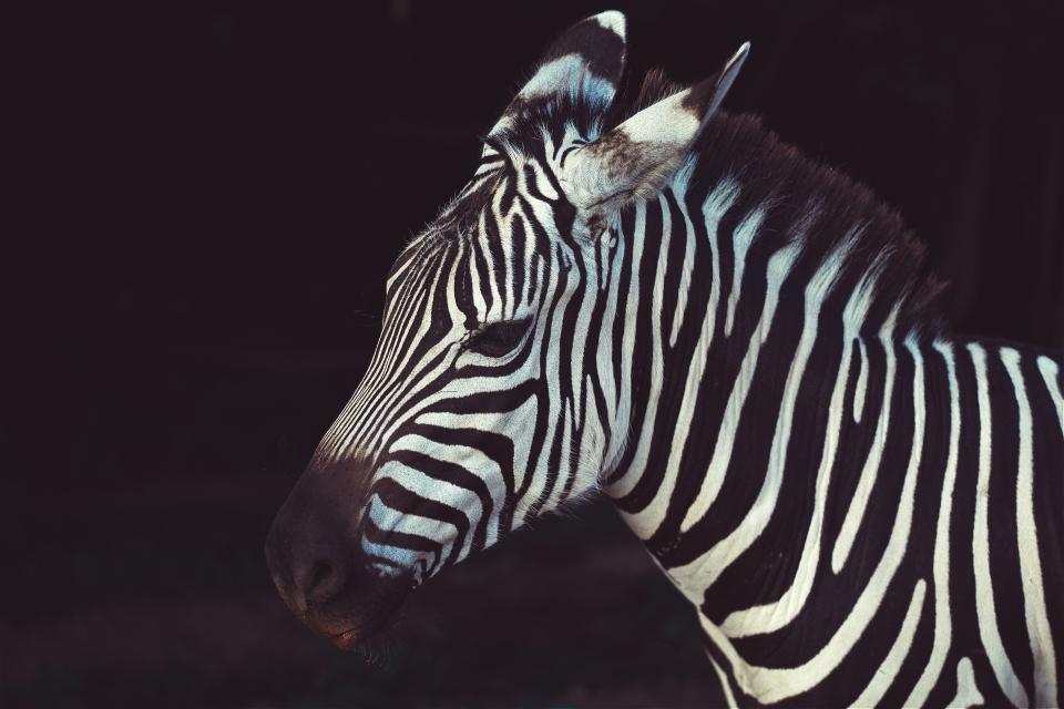 zebra stripes black white animal