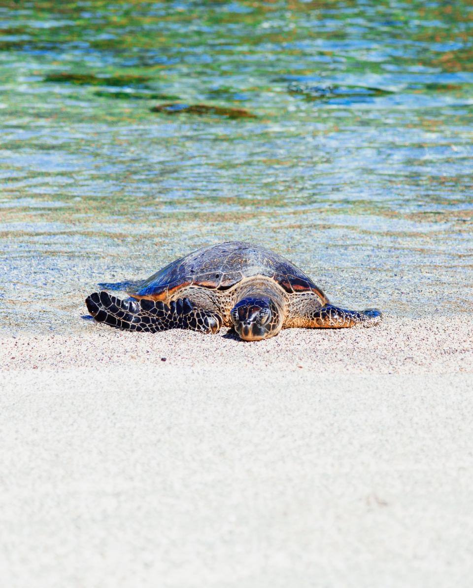 sea water turtle white sand beach shore coast nature reptile animal
