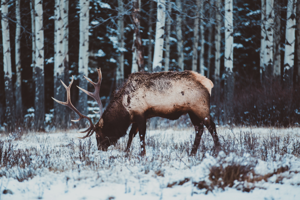 animal winter cold snowing snow antler wildlife mammal outdoors nature frosty frost wild woods forest beast elk trees