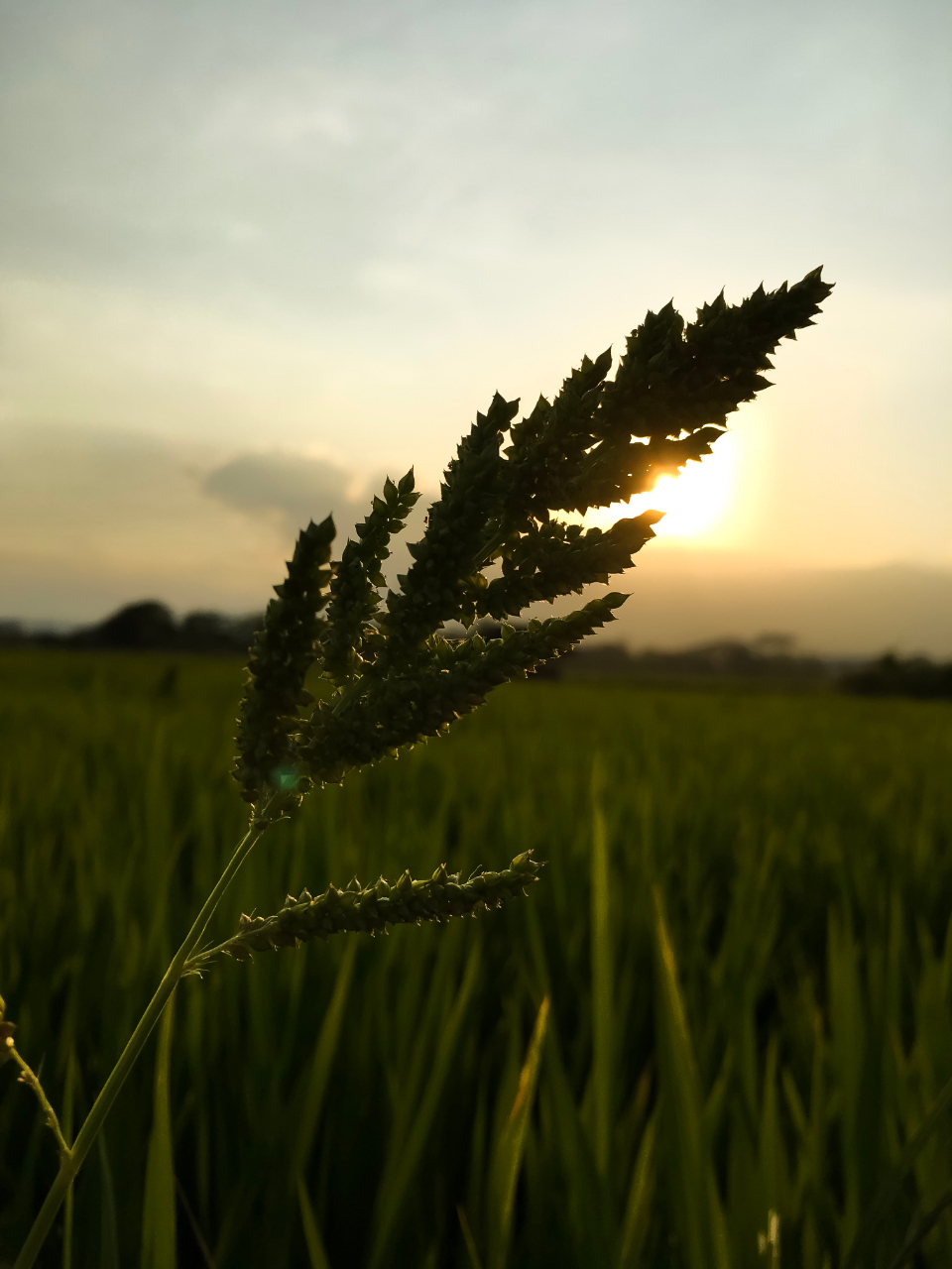 Paddy field Sunset Golden-hour Light Grass farm grass sunset sn leaf nature