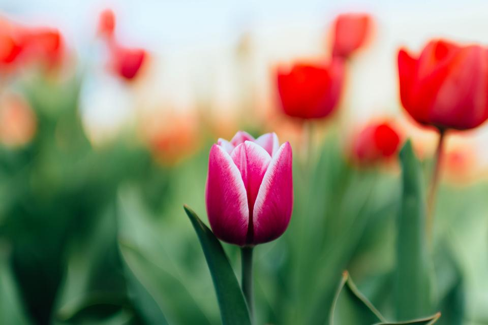 colorful tulip green leaf garden farm field flower blur nature plant