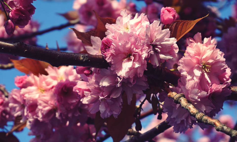 flowers cherry blossom tree trees nature plants spring bloom blossom botany flora pink