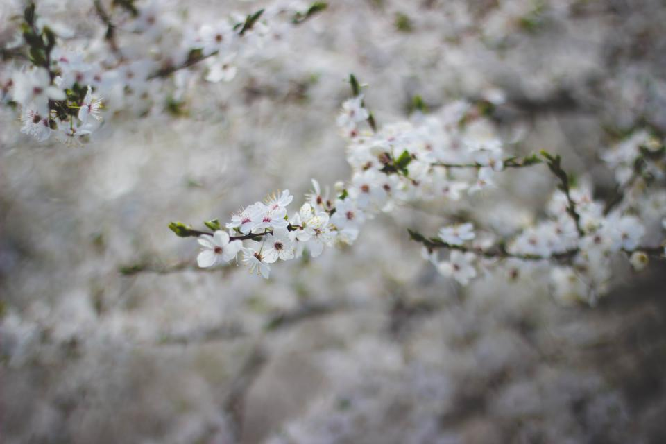 white flower bloom bokeh blur tree plant blossom nature