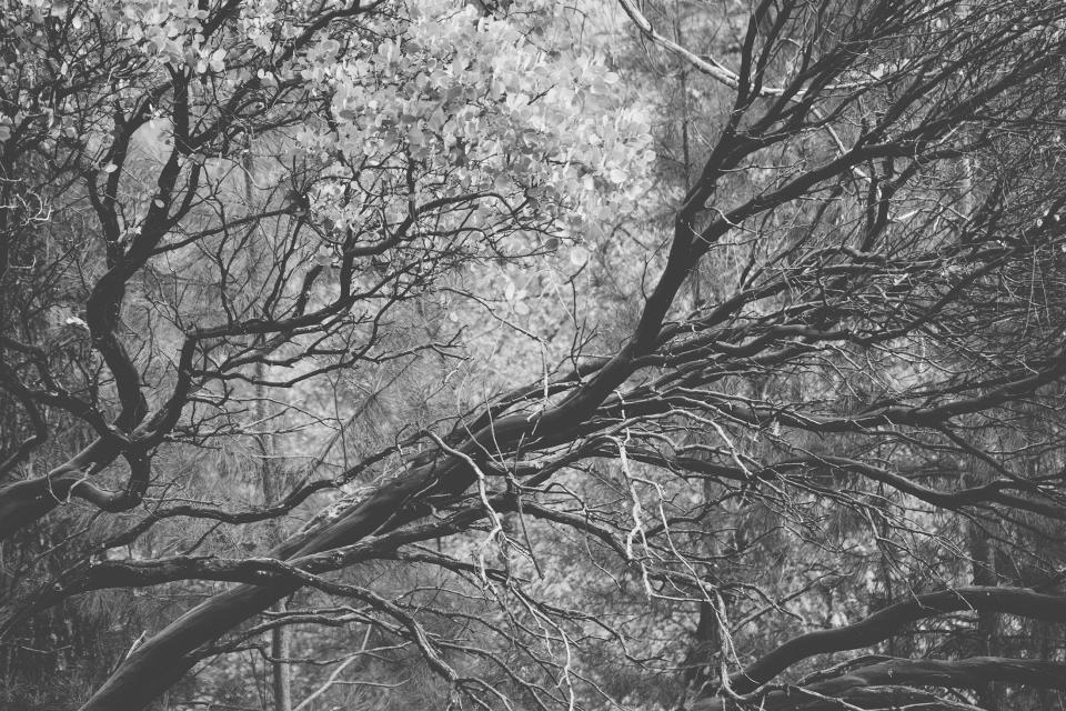 trees branches woods black and white