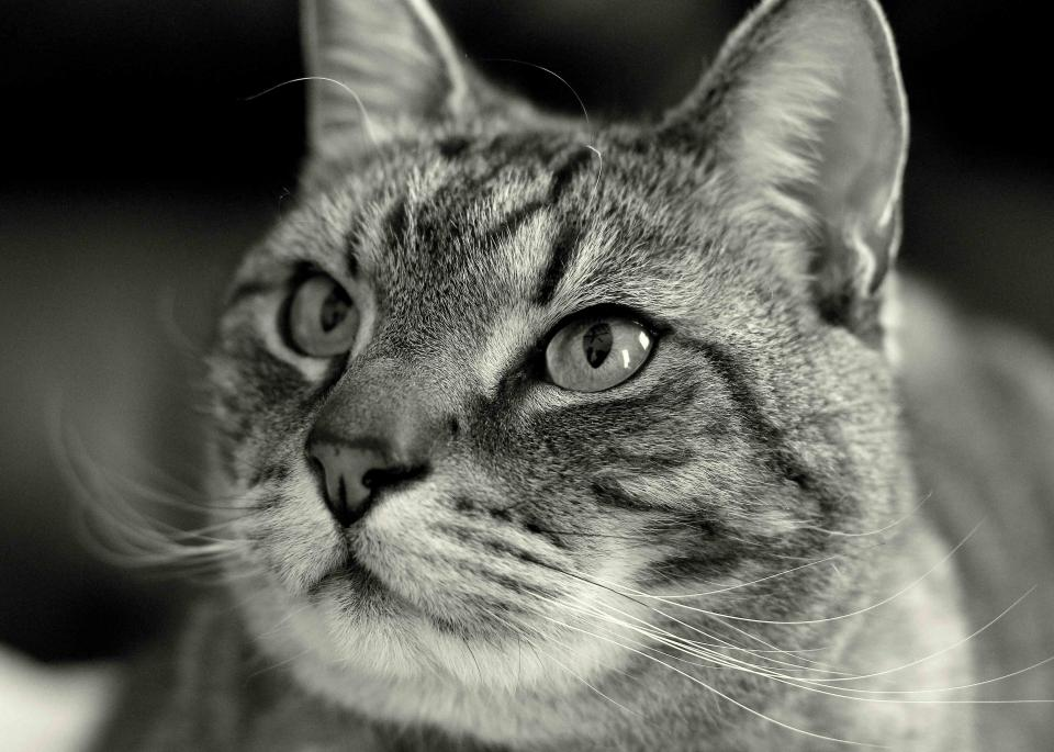 cat whiskers animals pet black and white eyes face