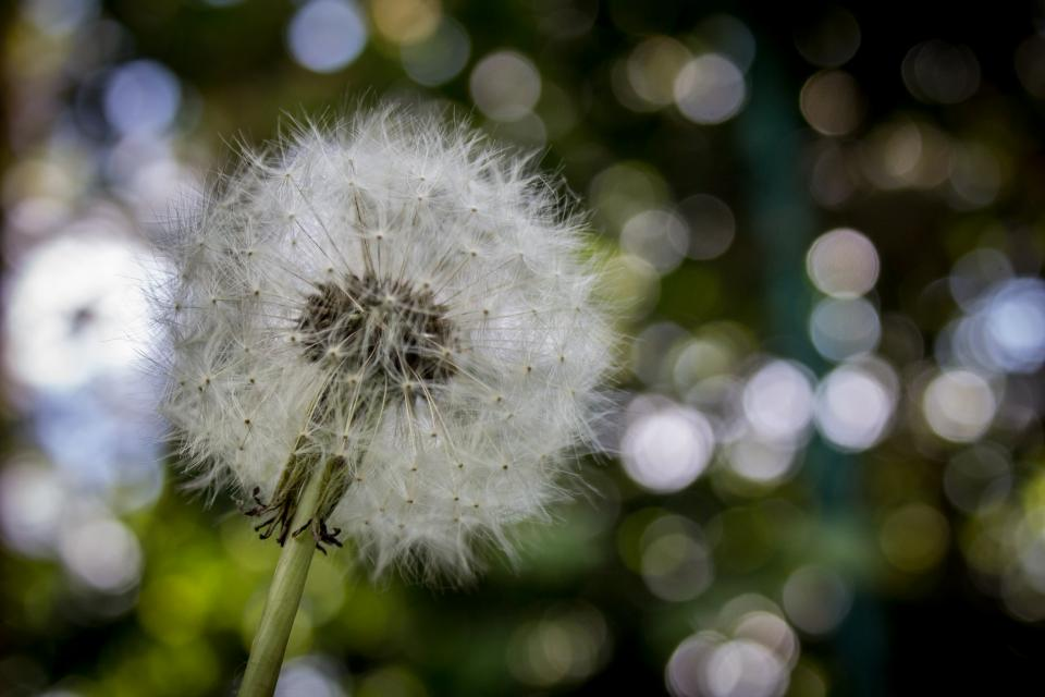 dandelion flower plant nature blow stem blur bokeh
