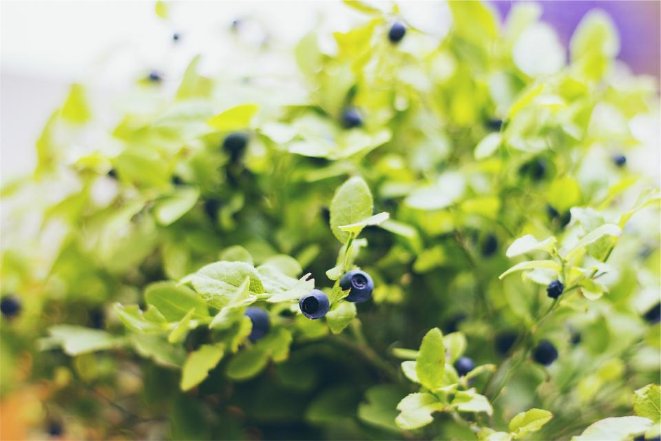 blueberries fruits plants