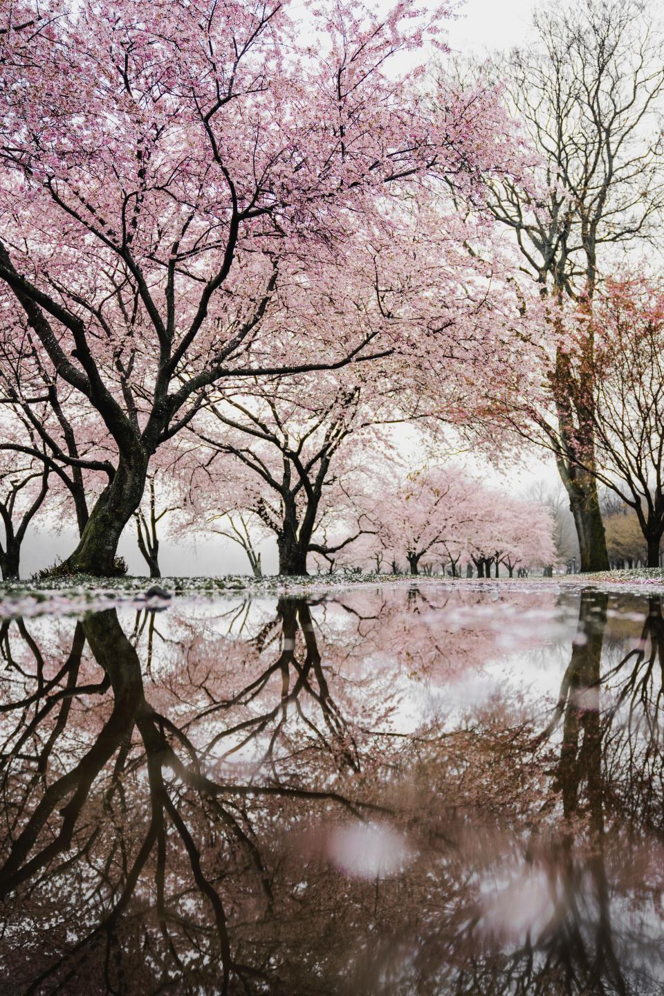 trees plant nature branch snow winter flowers pink petals blossoms bloom water reflection