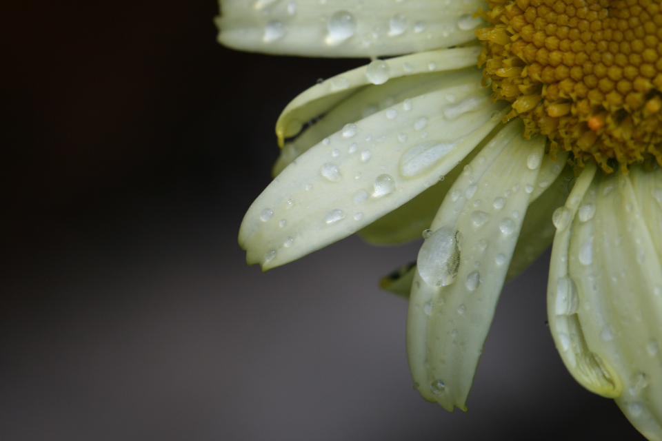 flower water droplets close up nature outdoors wet rain macro natural climate weather petals background daisy flora plant
