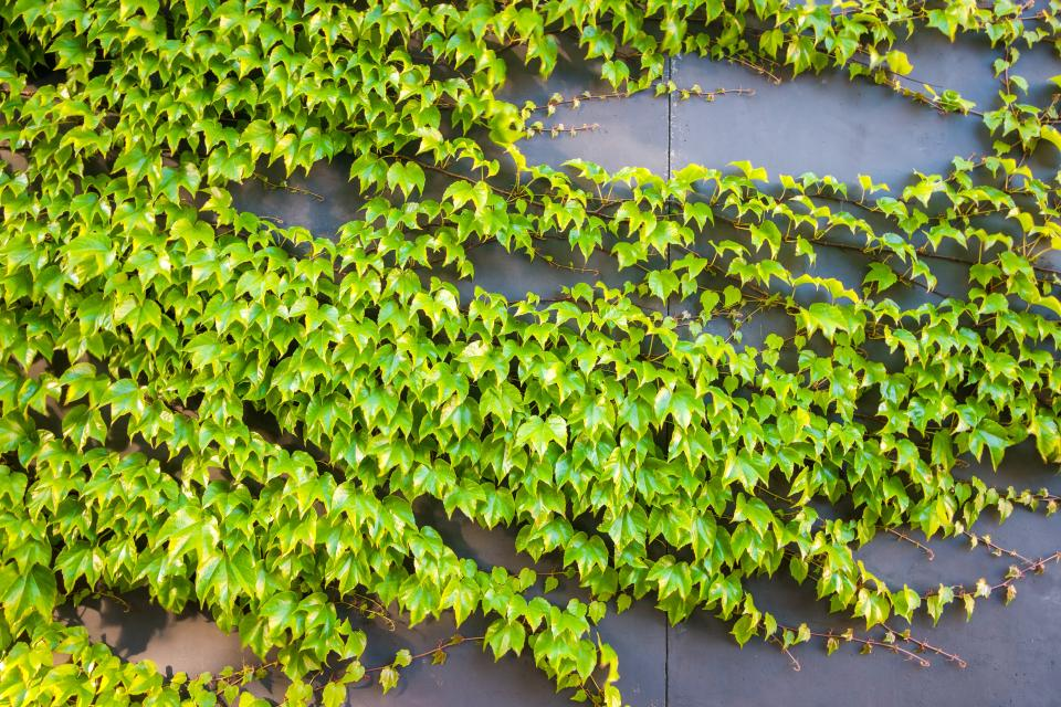 nature plants ivy vines leaves concrete slab