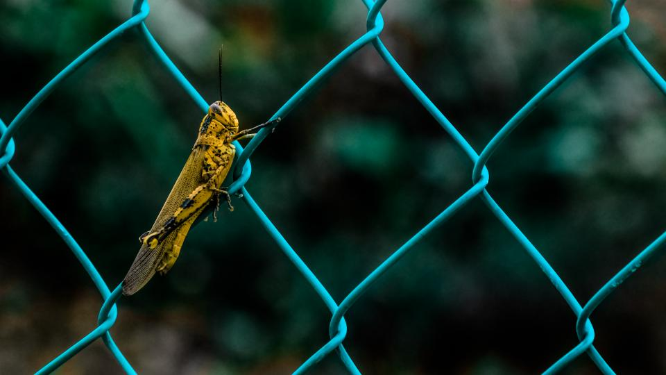 animals insects grasshopper fence wire mesh macro still boke