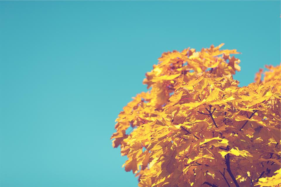 blue sky tree autumn yellow leaves