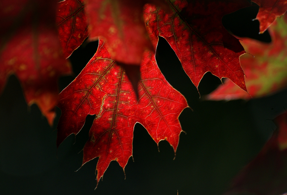 red autumn leaves maple tree nature outdoors close up foliage fall seasonal