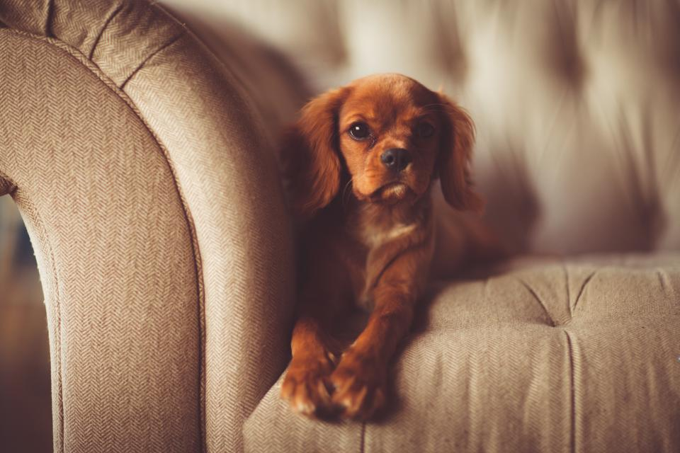 brown puppy dog animal pet couch