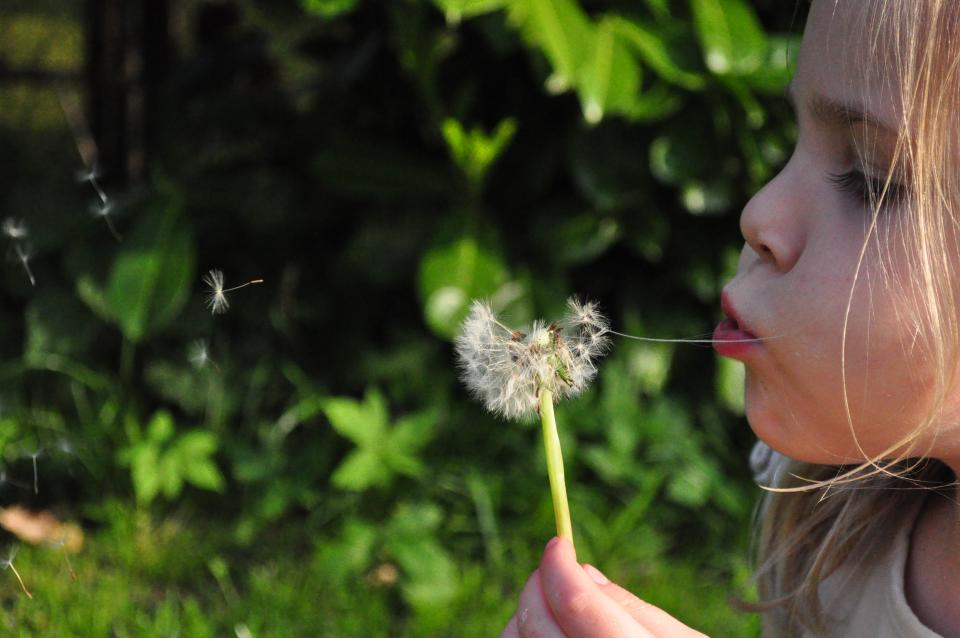 blowing dandelion flower child young girl