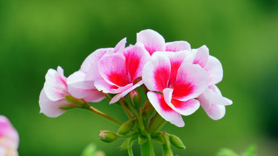 flowers nature blossoms branches stems stalk leaves white pink petals bokeh outdoors garden