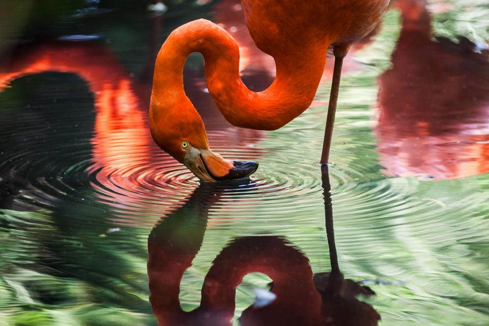 animals birds flamingo beak beautiful gorgeous feathers stand leg water reflection ripples vermillion