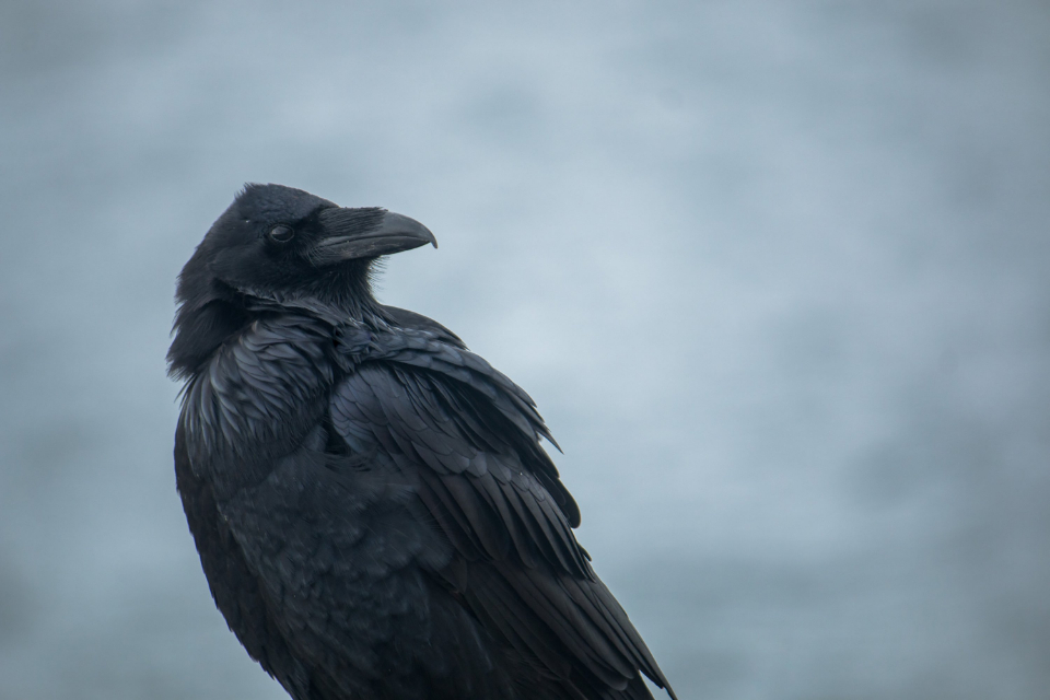raven bird close up animal wildlife feathers moody gloomy dark nature