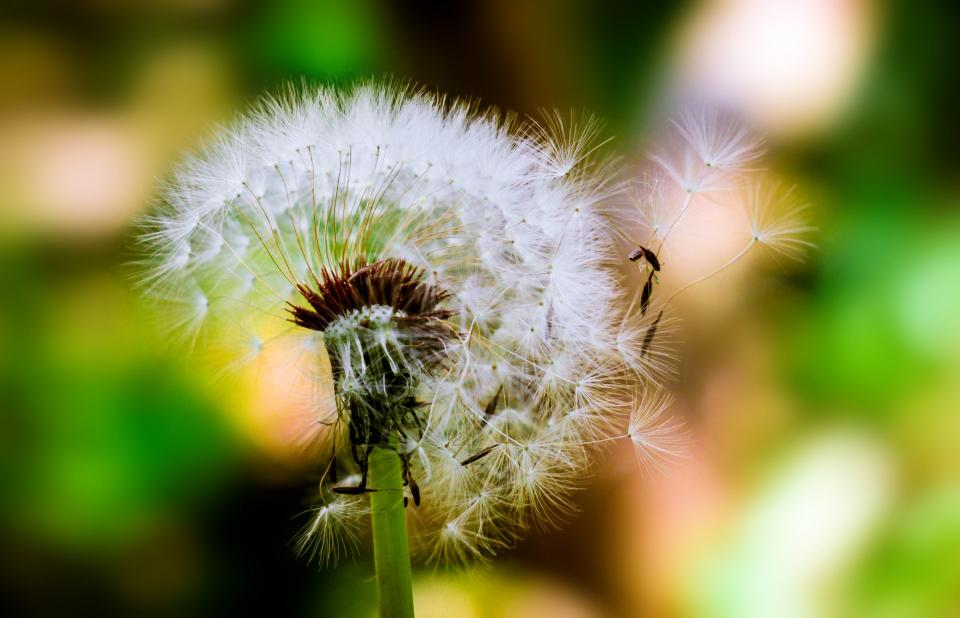 dandelion flower plant nature blow stem blur