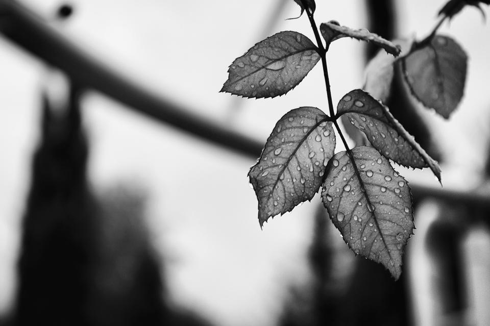 nature leaves water rain drop veins black and white monochrome