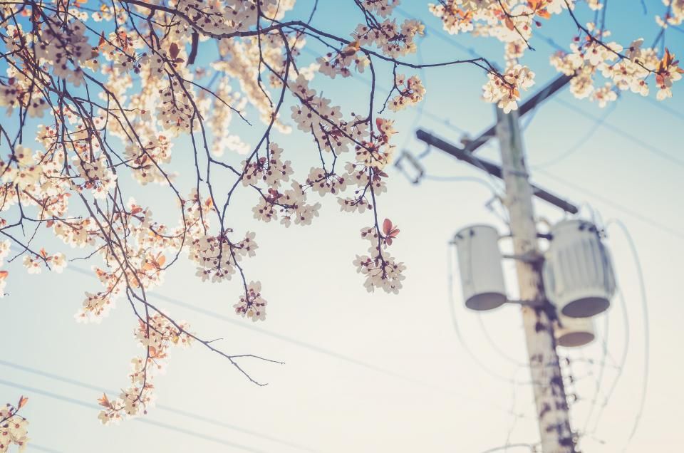 white blossoms trees flowers leaves branches power lines sunshine summer outdoors