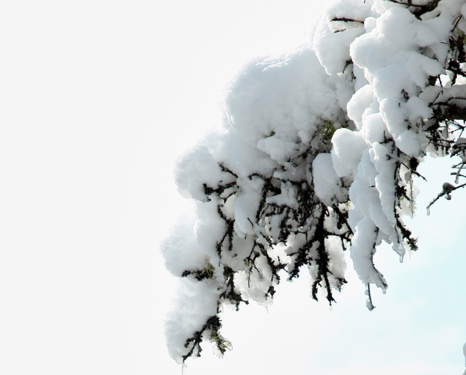 snow branch tree isolated pine spruce winter close up snowy covered cold seasonal copyspace green nature