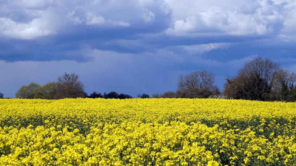 flowers nature blossoms field bed yellow stems petals leaves trees sky clouds outdoors