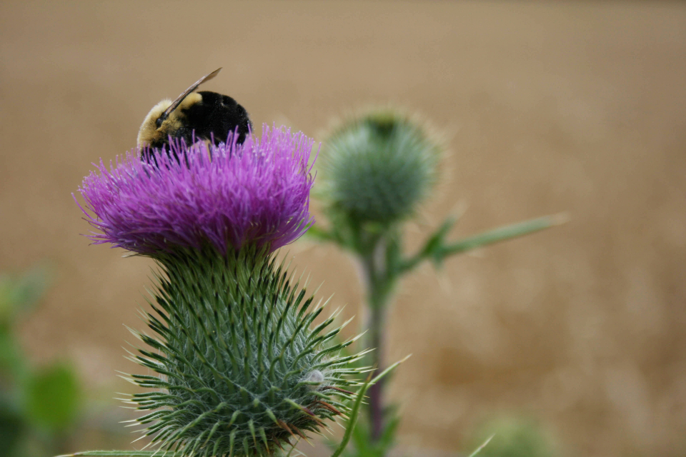bee close up flower thistle pollen bumble insect bug wildlife nature bloom purple field blossom