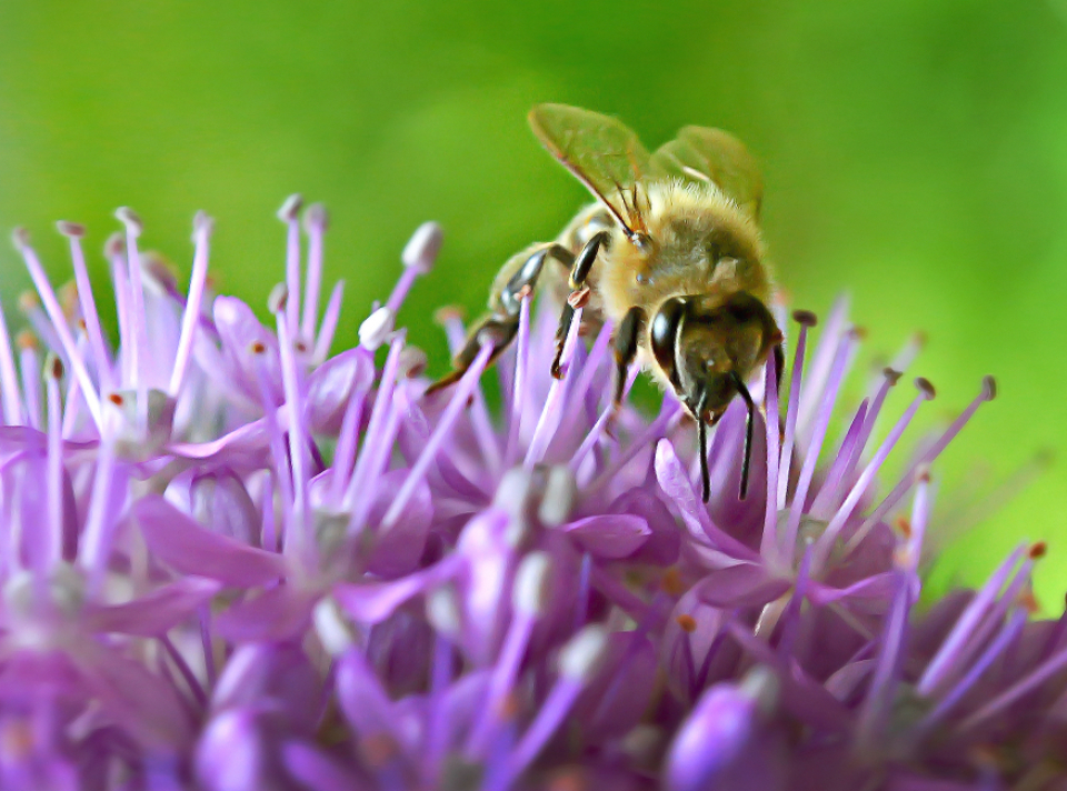 bee insect macro flower nectar honey hive nature outdoors close up wings