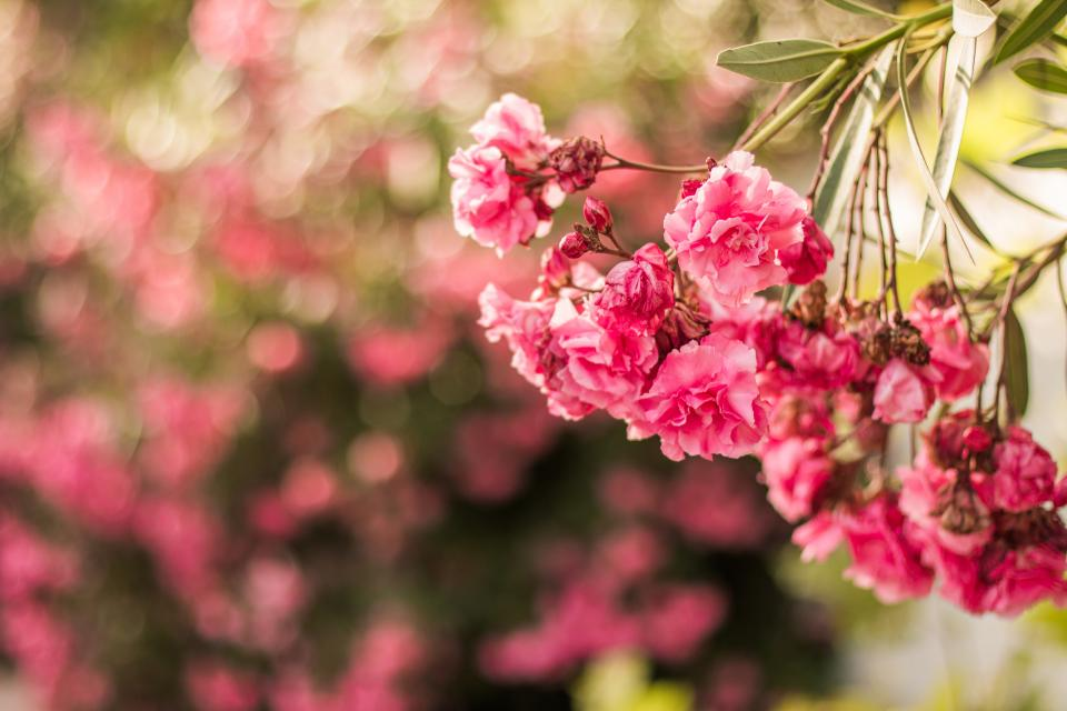 pink flower bokeh garden nature field outdoor