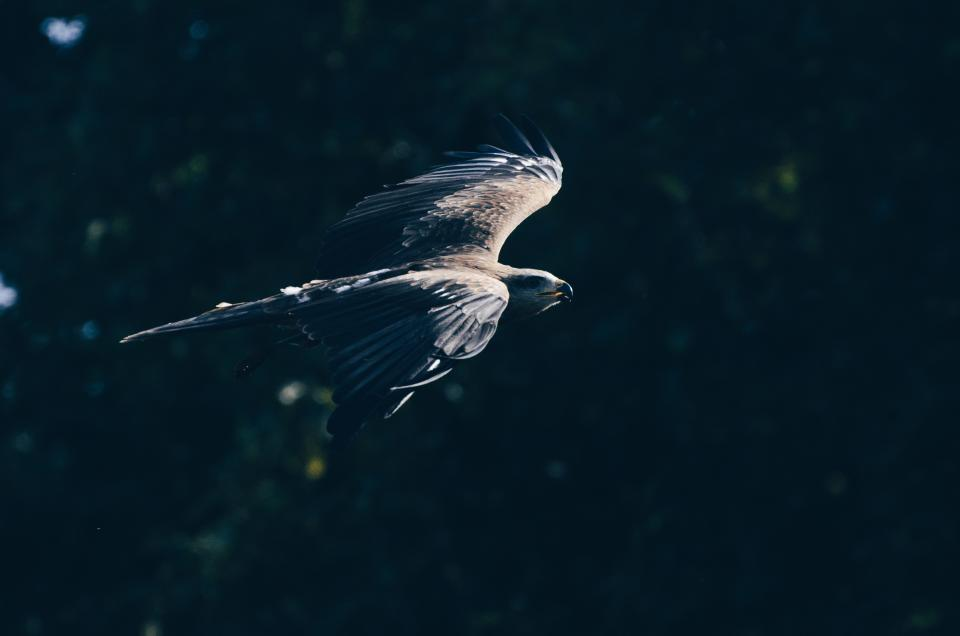 animal bird eagle wildlife outdoor pet bokeh blur forest flying wings