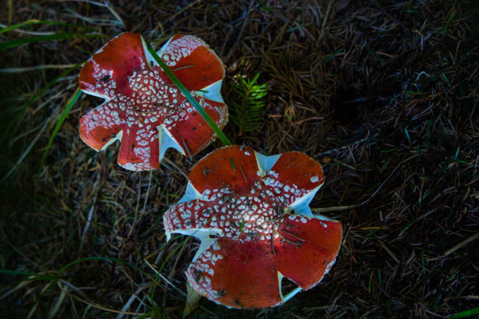 red mushroom willd flower white green grass forest fauna