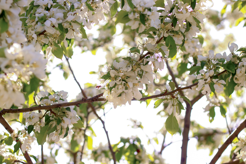 flowers bee pollen tree leaves light spring white flower bush plant