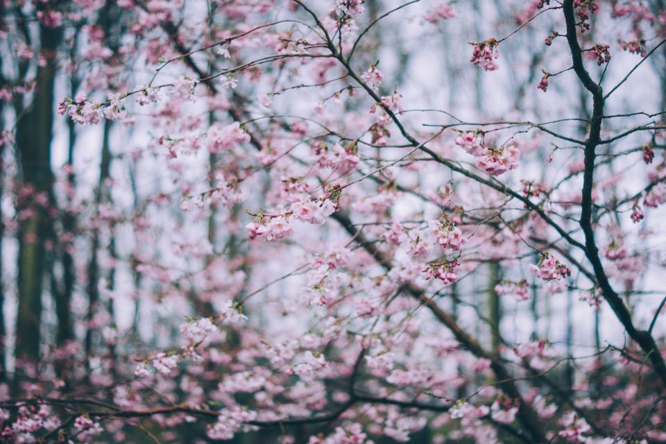 pink blossoms bloom pink flower tree branch nature plant outdoor farm field garden blur