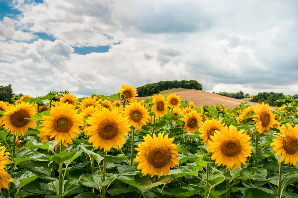 sunflowers flowers garden nature sky clouds field